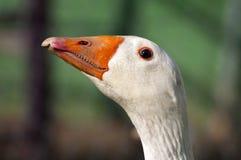 Goose head Royalty Free Stock Image