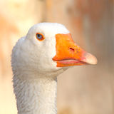 Goose head. Close of the white goose head Stock Photo