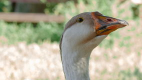Goose head against grass background stock footage