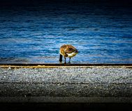 Goose with head in blue water feeding at Lake Windermere with gravel stony bank. In the Lake District, England UK royalty free stock photography