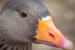 Goose head. Cloe up of common goose head facing left stock photo