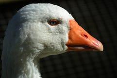 Goose Head. A Close up of a head of a Goose Stock Photos