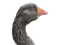 Goose Head A close up Royalty Free Stock Photos