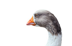 Goose Head A close up Stock Photos