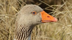 Goose Head Stock Photo