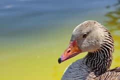 Goose head Royalty Free Stock Images