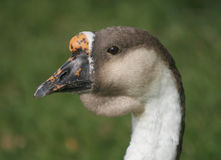 Goose Head Shot Royalty Free Stock Image