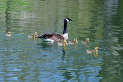 A goose and her goslings Stock Photography