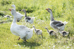 Goose home family. Walking on the grass royalty free stock photo