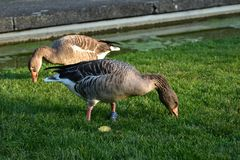 Goose. Hungry goose on the grass Stock Images