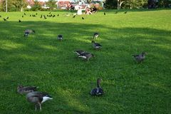 Goose. Hungry goose on the meadow Royalty Free Stock Photo