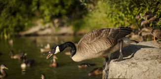 Canadian goose on the lake. Stock Photo