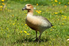 Goose hybrid in the wild royalty free stock photo