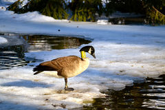 Goose on icy river Royalty Free Stock Photography