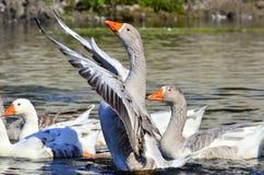 Goose royalty free stock image