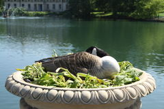 Canada Goose Incubates Stock Photo
