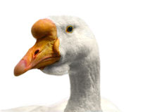 Free Goose Isolated Stock Photography - 11385922