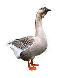 Goose (isolated). Goose (isolated in white background Royalty Free Stock Photography
