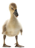 Goose isolated Royalty Free Stock Photography