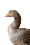 Goose isolated Stock Photos