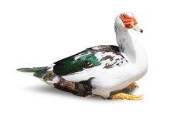 Goose isolated on white background. royalty free stock photos