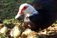 Goose with its young royalty free stock photography