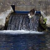 Goose Jumper Stock Photos