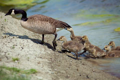 Goose with kids getting out of the water Royalty Free Stock Photos