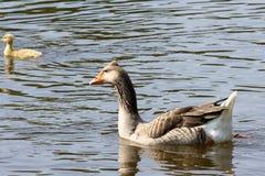 Goose on a lake stock photo