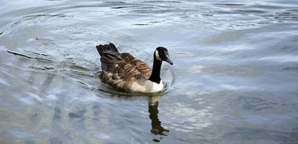 Goose in the lake. Goose swimming in the lake Stock Photos
