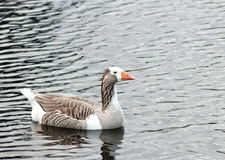 Goose on Lake Stock Photos