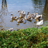Goose in lake Royalty Free Stock Photography