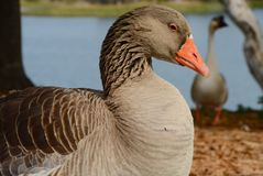 Goose at Lake Royalty Free Stock Photography