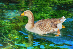 Goose on the Lake Royalty Free Stock Photography