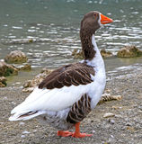 Goose at lake Kournas at island Crete Stock Image