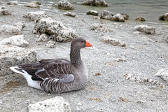 Goose at lake Kournas at island Crete Royalty Free Stock Images