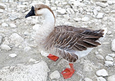 Goose at lake Kournas at island Crete Stock Photography