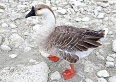 Goose at lake Kournas at island Crete Stock Photography