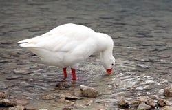 Goose at lake Kournas at island Crete Stock Photo