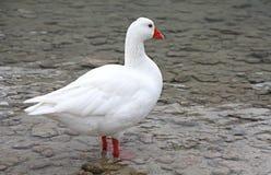 Goose at lake Kournas at island Crete Royalty Free Stock Photography