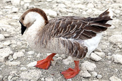 Goose at lake Kournas at island Crete Royalty Free Stock Photo