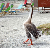 Goose at lake Kournas at island Crete Stock Images