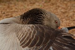 Curled Up Goose Royalty Free Stock Photo