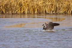 Goose Landing Stock Photography