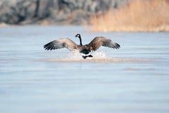 Goose landing Royalty Free Stock Image