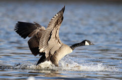 Goose Landing Royalty Free Stock Photo