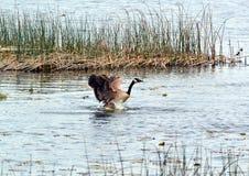 Goose landing Royalty Free Stock Photo