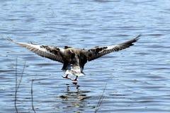 Goose landing in creek Royalty Free Stock Photo