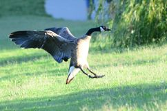 Goose landing in meadow Royalty Free Stock Image