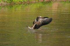 Goose landing on pond Stock Image
